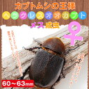 【カブトムシ】ヘラクレス オオカブト成虫 メス60〜63mm ! 【外国産カブトムシ】