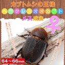 ヘラクレスオオカブト成虫 メス64〜66mm !