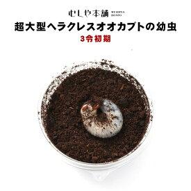 送料無料!【超大型165ミリ種親の子孫 ヘラクレスオオカブトの幼虫 オスメスペア 3令初期】
