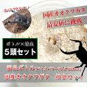 国産オオクワガタ 1令〜2令幼虫5頭+菌糸ボトル5個のセット