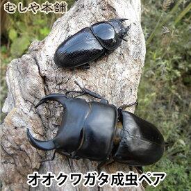 【国産オオクワガタ 成虫 オスメスペア Mサイズ】 クワガタ 昆虫 生体 ペット