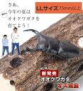 国産 オオクワガタ成虫【オス】LLサイズ