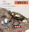 ニジイロクワガタ成虫 【メス】 Sサイズ