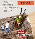ニジイロクワガタ成虫 【オス】 Lサイズ