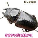 【新成虫!国産 オオクワガタ成虫 メス Lサイズ 45mm以上】クワガタ オオクワ 昆虫 ブリード 生体