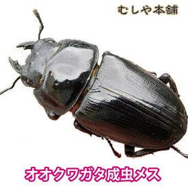 【新成虫!国産 オオクワガタ 成虫 メス特大50mm】 クワガタ 昆虫 生体 ペット ブリード オオクワ