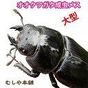 【新成虫!国産 オオクワガタ 成虫 メス 特大52mm】 クワガタ 昆虫 生体 オオクワ