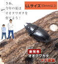 国産 オオクワガタ 成虫 【メス】 LLサイズ