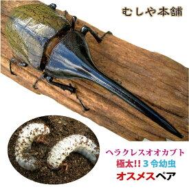 【ヘラクレスオオカブト(ヘラクレスヘラクレス) 3令初期 幼虫 オスメスペア】 カブトムシ カブトムシ幼虫 外国産カブトムシ ヘラクレス幼虫 極太 大型