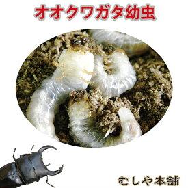 【国産 オオクワガタ幼虫 1〜2令 1頭】クワガタ オオクワ 幼虫 生体