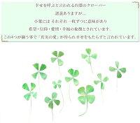 幸せを呼ぶ四葉のクローバー10枚《ドライフラワーリアル本物四つ葉茎ハーバリウムレジン封入アクセサリーネックレスピアスアロマアートフラワーインテリアハンドメイド花材》