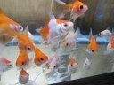 Goldfish 78