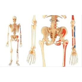 【送料無料】 立体パズル 4D VISION 人体解剖 No.8 全身骨格解剖モデル