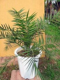 ◆フェニックス◆≪カナリーヤシ ≫鉢植え♪リゾート庭木◆お任せ株!