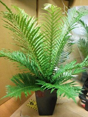 ◆ブレクナム・シルバーレディー・60◆シダ植物♪希少種♪◆観葉植物◆本州四国送料無料!
