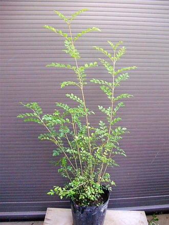 ◎本州四国送料無料◎シマトネリコ◎100CM◎人気常緑樹!