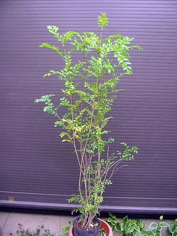 ◎シマトネリコ・株立ち◎全長120CM前後◎本州四国送料無料!人気常緑樹