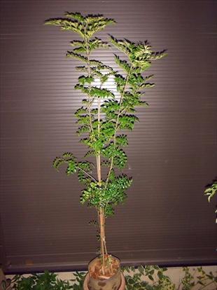 ◎シマトネリコ・細身タイプ!◎全長170◎人気常緑樹!