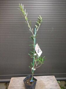 ◇オリーブ苗木≪マンザニロ・120≫実付き良い品種です!人気常緑樹◇お任せ苗