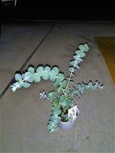 ◇ユーカリ苗木≪ユーカリ・ベビーブルー 3.5号≫◇ベイビーブルー!◇観葉植物や寄せ植え、リゾート庭木に!