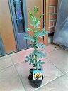 ◎ミモザアカシア◎ギンヨウアカシア・30◎常緑樹◎本州四国は送料無料!