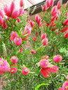 ◇赤花キンポウジュ≪金宝樹・130≫ブラシノキ苗木◇常緑樹◇カリステモン!