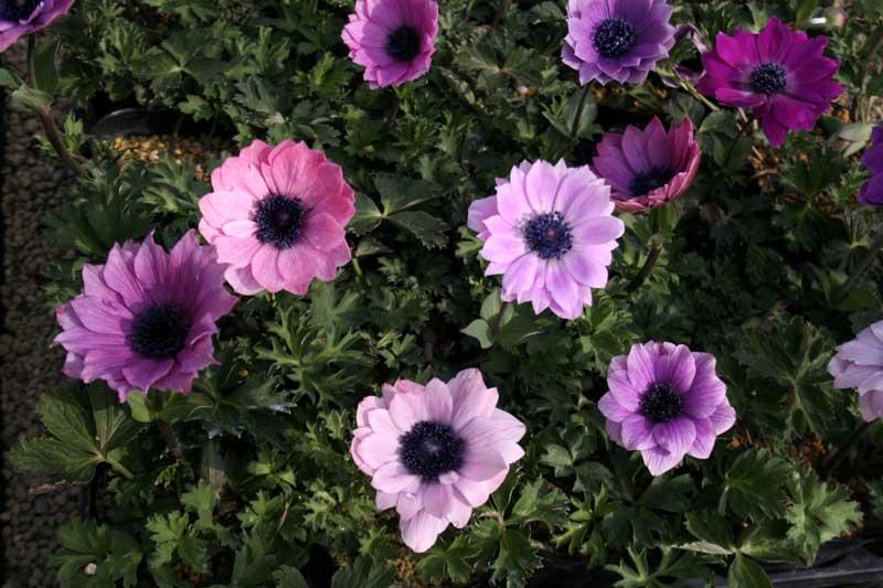 【山野草】アネモネ・パボニナ青紫花系