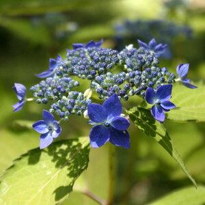 《2021年開花見込み株》ヤマアジサイ「藍姫」 3.5号(10.5cm)ポット