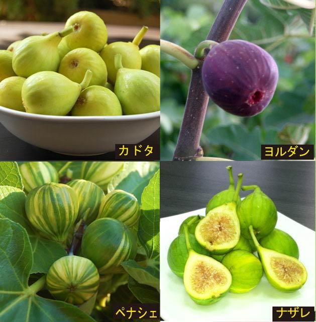 【果樹苗】イチジク輸入品種4種セット