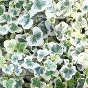 かわいいアイビーコレクション★雪ほたる★3号ポット苗(ヘデラ)観葉植物 ガーデニング ユキホタル