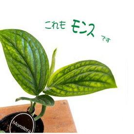 モンステラ ジェイド シャトルコック 3号 観葉植物 ポット苗