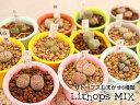 多肉植物 メセン コノフィツム リトープスおまかせ6種類