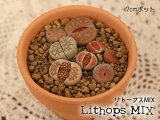 多肉植物メセンリトープス寄せ植え