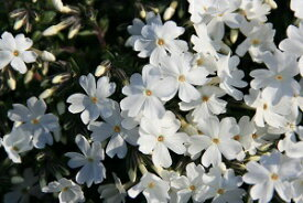 シバザクラ(芝桜)白 モンブラン 9cm【山野草】【グランドカバー】