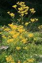 オミナエシ(女郎花)7.5cm〜9cmポット【山野草】【秋の七草】