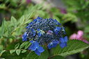ヤマアジサイ アイヒメ(山紫陽花 藍姫)7.5〜9cmポット