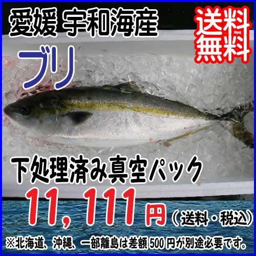 愛媛 宇和海産 ( ブリ ) 4-5kg 活き締め 下処理済 送料無料 宇和海の幸問屋