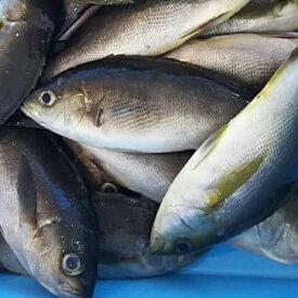 愛媛 ( イサキ ) 300-500gサイズ 2-4匹 1kg原体分 刺身 煮魚 焼魚 干物 下処理済み 送料無料 北海道、沖縄、東北は別途送料 宇和海の幸問屋
