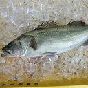 愛媛 ( スズキ ) 1.5-2kg原体サイズ 刺身 煮魚 焼魚 干物 下処理済み 送料無料 北海道、沖縄、東北は別途送料 宇和海…