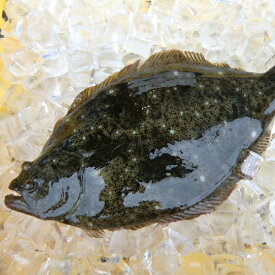 愛媛 ( ヒラメ ) 0.8-1.2kg原体サイズ 刺身 煮魚 焼魚 干物 下処理済み 送料無料 北海道、沖縄、東北は別途送料 宇和海の幸問屋