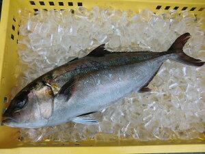 愛媛 ( カンパチ ) 3-4kg原体サイズ 刺身 煮魚 焼魚 干物 下処理済み 送料無料 宇和海の幸問屋