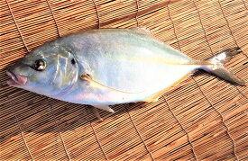 愛媛 ( シマアジ ) 1-1.5kg原体サイズ 刺身 煮魚 焼魚 干物 下処理済み 送料無料 北海道、沖縄、東北は別途送料 宇和海の幸問屋