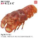 愛媛 天然 ( セミエビ ) 1-4尾 0.8-1kg 期間限定 10/1〜4/30の漁期で水揚げあり次第 幻の海老 浜から直送 送料無料 宇…