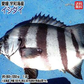愛媛 ( 石鯛 イシダイ ) 約800-1200g(1匹) 刺身 煮魚 焼魚 干物 送料無料 宇和海の幸問屋