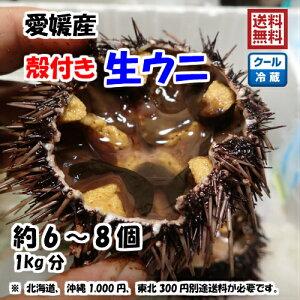 愛媛 天然 ( 殻付き 生ウニ ) 約1kg(6-8個) 紫ウニ 赤ウニ 素潜り海士 送料無料 浜から直送 宇和海の幸問屋