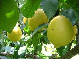 無農薬完熟レモン約2.kg 【送料無料】但し、北海道,沖縄300円追加)