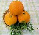 【送料無料】和歌山産 ≪福原オレンジ≫5kg めずらしい国産オレンジです