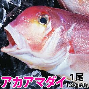 アマダイ(アカアマダイ) 1.2kg前後1尾長崎産上質な白身の甘鯛をお腹いっぱい食べて下さい!送料無料!#元気いただきますプロジェクト (水産物)