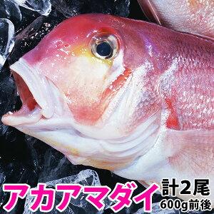 アマダイ(アカアマダイ) 計1.2kg前後(600g前後2尾)長崎産上質な白身の甘鯛をお腹いっぱい食べて下さい!#元気いただきますプロジェクト (水産物)