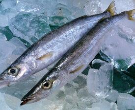 【カマスの王様!アカカマス(かます )】100g〜150g前後 計1kg前後 長崎産・高級魚種